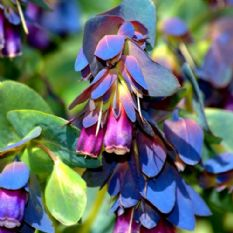 Cerinthe major purpurescens ( Honeywort ) - 10 seeds - 30 seeds